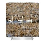 Three Trumpetor Swans 0629 Shower Curtain