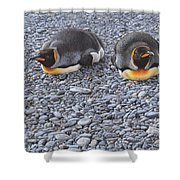 Two King Penguins By Alan M Hunt Shower Curtain