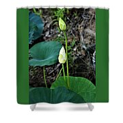 Two White Lotus Flower Buds Shower Curtain