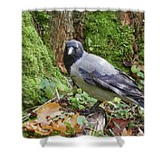 Under The Oak Tree. Hooded Crow Shower Curtain