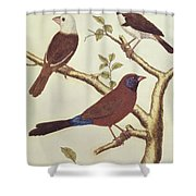 White Headed Munia, Double Coloured Seed Eater And Violet Eared Waxbill Shower Curtain