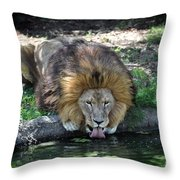 Lion Drinking Water Throw Pillow