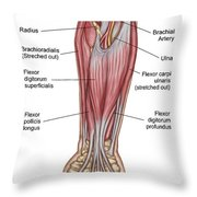 Anatomy Of Forearm Muscles, Anterior Throw Pillow