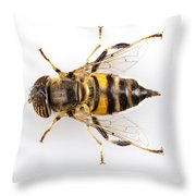 Eristalinus Taeniops Hoverfly Isolated Oin White Background Throw Pillow