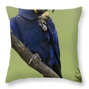 Hyacinth Macaw Eating Palm Nut Throw Pillow