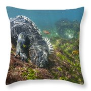 Marine Iguana Feeding On Algae Punta Throw Pillow