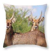 Waterbuck Bull Brothers Throw Pillow