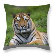 Siberian Tiger, China Throw Pillow