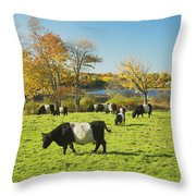 Belted Galloway Cows Grazing On Grass In Rockport Farm Fall Main Throw Pillow