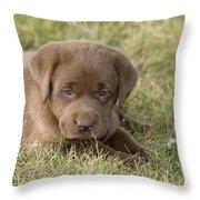 Chocolate Labrador Puppy Throw Pillow