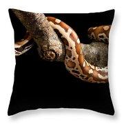 Blood Python Python Brongersmai Throw Pillow