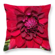 Dahlia Named Nuit D'ete Throw Pillow