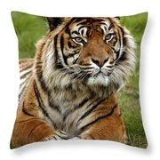 Tigre De Sumatra Panthera Tigris Throw Pillow