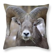 A Big Ram Caught With His Mouth Full Throw Pillow