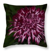 A Happy Birthday Wish With An Elegant Maroon And Pink Mum Throw Pillow