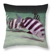 A School Of Sheepshead Feeding Throw Pillow by Michael Wood