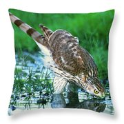 A Wild Juvenile Cooper's Hawk Drinks From A Pond Throw Pillow