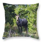 A Young Moose  Throw Pillow