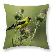 American Goldfinch Eating Thistle Seed Throw Pillow