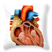 Anatomy Of Human Heart, Cross Section Throw Pillow by Stocktrek Images