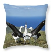 Antipodean Albatross Courtship Display Throw Pillow