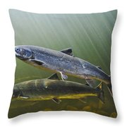 Atlantic Salmon Adults Migrate From Throw Pillow