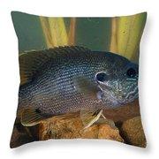 Bluegill Lepomis Macrochirus Throw Pillow