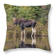 Bull Moose 3 Throw Pillow