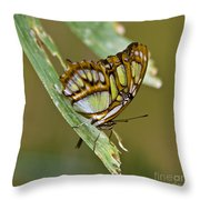 Butterfly Siproeta Stelenes Throw Pillow