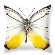 Butterfly Species Cepora Judith  Throw Pillow