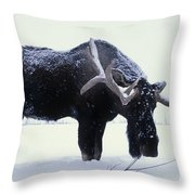 Captive Bull Moose Foraging For Food Throw Pillow