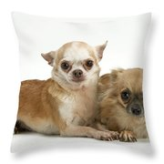 Chihuahua Puppy Dogs Throw Pillow