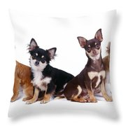 Chihuahuas Dogs Throw Pillow