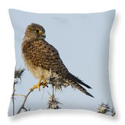 Common Kestrel Falco Tinnunculus 3 Throw Pillow