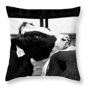 Cow Just Resting His Chin Throw Pillow