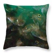 Cunner Fish Nova Scotia Throw Pillow