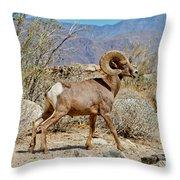 Desert Bighorn Sheep Ram At Borrego Throw Pillow