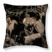 Desert Bighorns Ovis Canadensis Nelsoni Throw Pillow