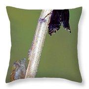 Eastern Black Swallowtail Metamorphosis Throw Pillow