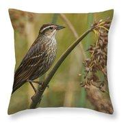 Female Redwing Blackbird Throw Pillow