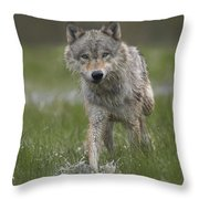 Gray Wolf Walking Through Water Throw Pillow