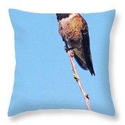 Hummingbird On Acacia Bush Twig Throw Pillow