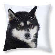 Husky Dog Breading Centre Throw Pillow by Lilach Weiss