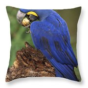 Hyacinth Macaw Eating Piassava Palm Nuts Throw Pillow