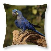 Hyacinth Macaw Portrait Brazil Throw Pillow