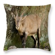 Ibex Pictures 115 Throw Pillow