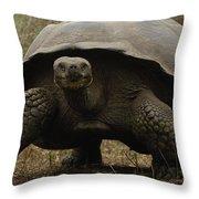 Indefatigable Island Tortoise Galapagos Throw Pillow