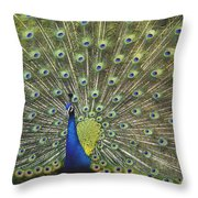 Indian Peafowl Male Displaying Throw Pillow