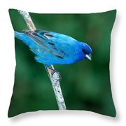 Indigo Bunting Passerina Cyanea Throw Pillow