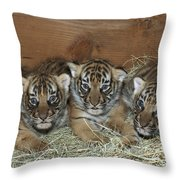 Indochinese Tiger Cubs In Sleeping Box Throw Pillow